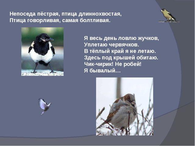 Непоседа пёстрая, птица длиннохвостая, Птица говорливая, самая болтливая. Я в...