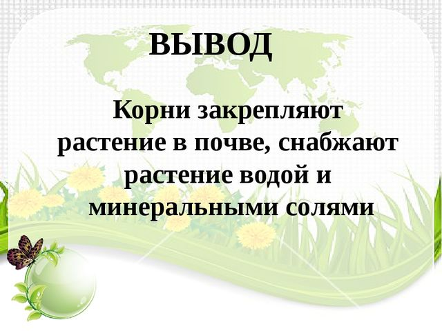 ВЫВОД Корни закрепляют растение в почве, снабжают растение водой и минеральны...