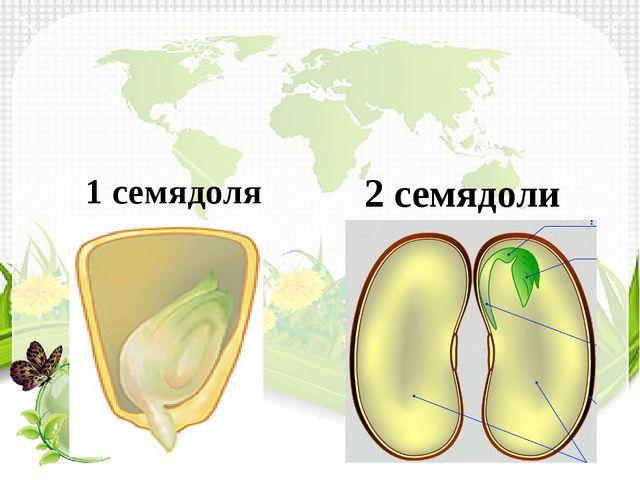 1 семядоля 2 семядоли