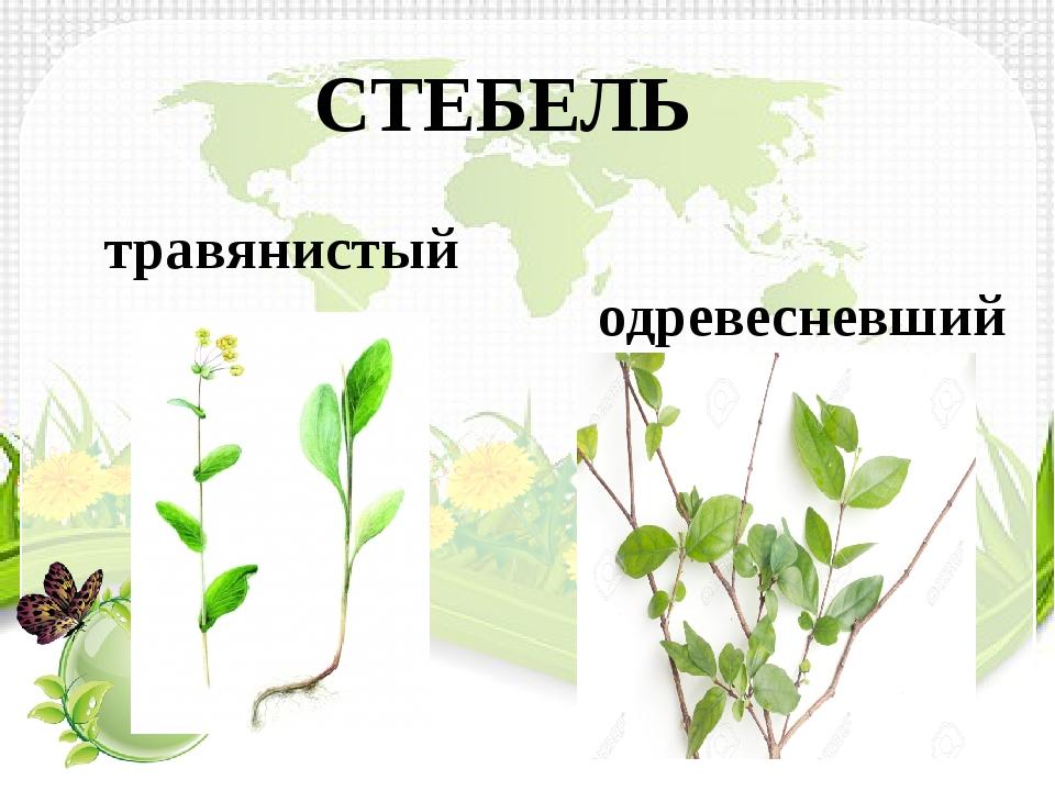 СТЕБЕЛЬ травянистый одревесневший