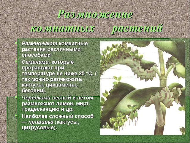 Размножение комнатных растений Размножают комнатные растения различными спосо...
