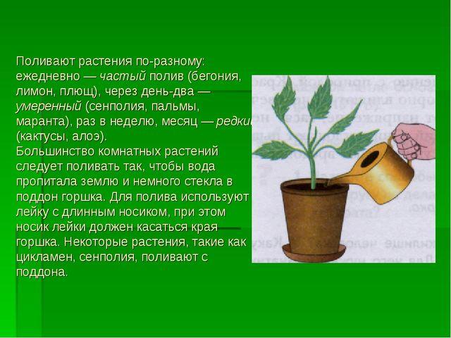 Поливают растения по-разному: ежедневно — частый полив (бегония, лимон, плющ)...