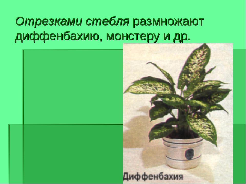 Отрезками стебля размножают диффенбахию, монстеру и др.