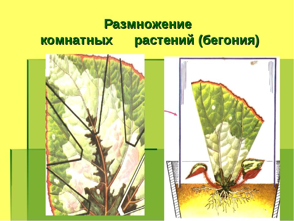 Размножение комнатных растений (бегония)