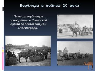 Верблюды в войнах 20 века Помощь верблюдов понадобилась Советской армии во вр