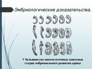 Эмбриологические доказательства. У большинства многоклеточных животных стадии