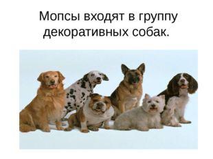 Мопсы входят в группу декоративных собак.