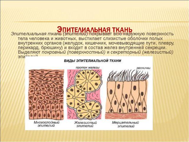 Эпителиальная ткань (эпителий) покрывает всю наружную поверхность тела челов...