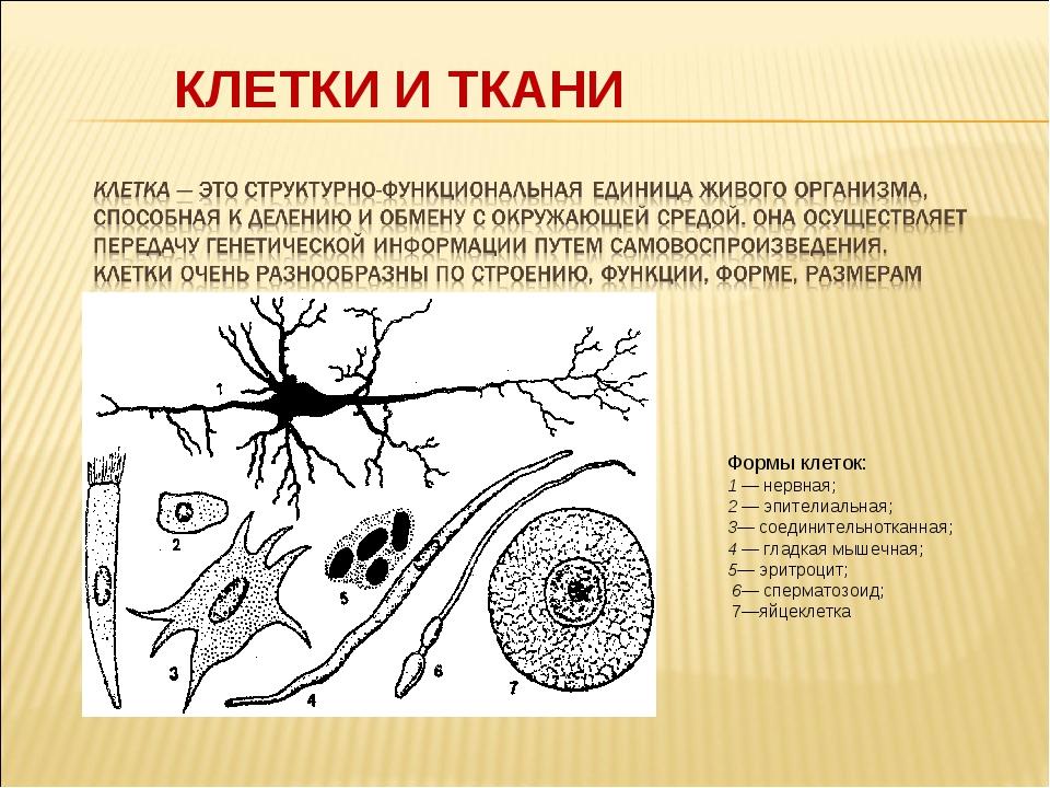 КЛЕТКИ И ТКАНИ Формы клеток: 1 — нервная; 2 — эпителиальная; 3— соединительно...