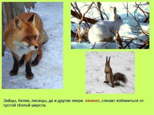 Зайцы, белки, лисицы, да и другие звери линяют, спешат избавиться от густой т