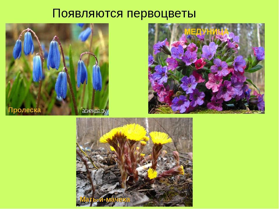 Появляются первоцветы Пролеска Мать-и-мачеха