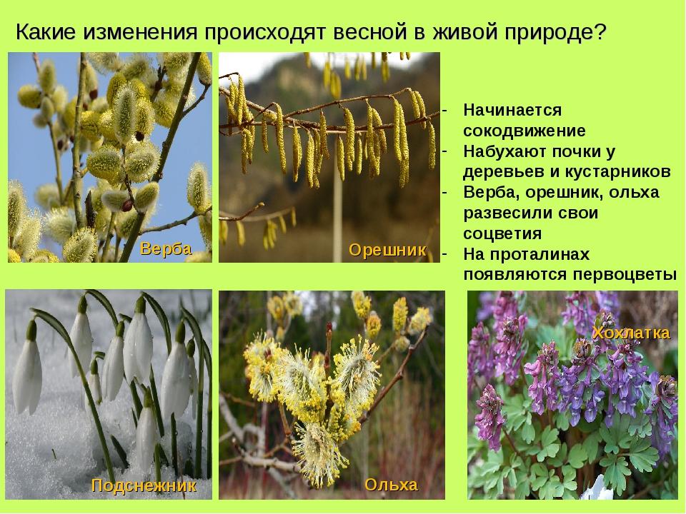 Какие изменения происходят весной в живой природе? Начинается сокодвижение На...