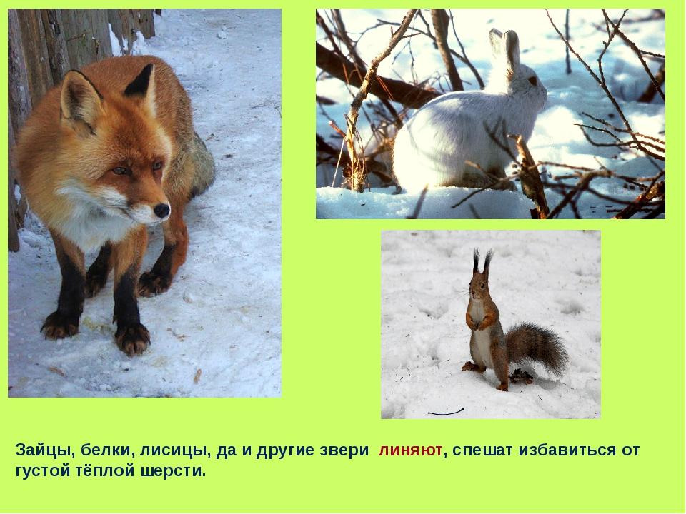 Зайцы, белки, лисицы, да и другие звери линяют, спешат избавиться от густой т...