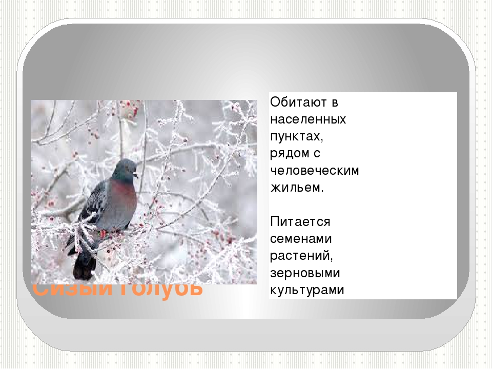 Сизый голубь Обитают в населенных пунктах, рядом с человеческим жильем. Питае...