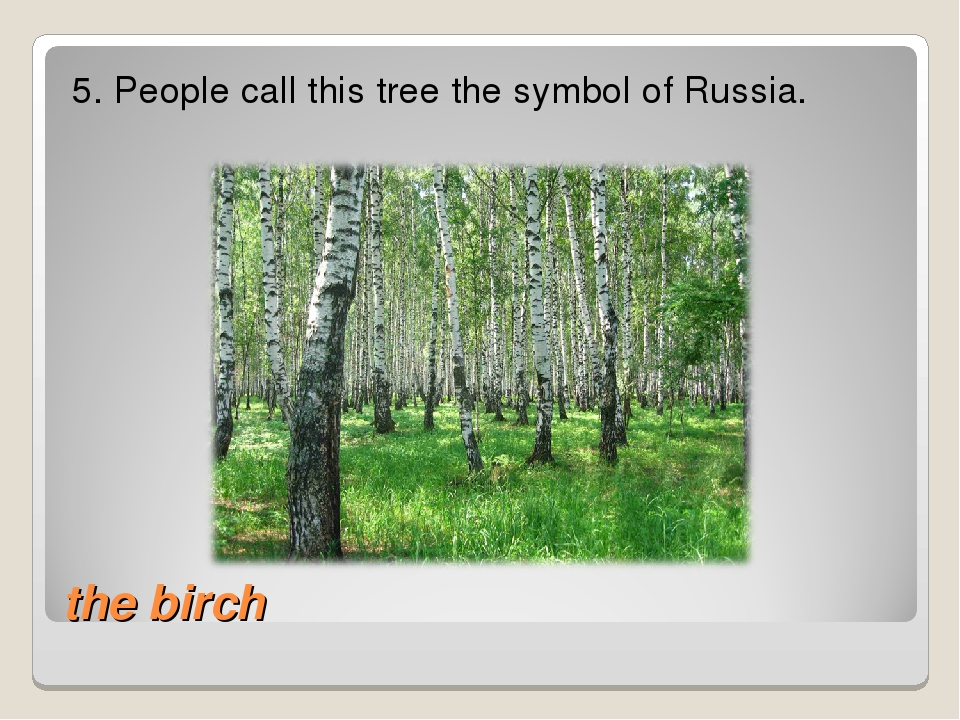 the birch 5. People call this tree the symbol of Russia.