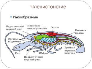 Членистоногие Ракообразные
