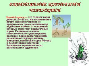 РАЗМНОЖЕНИЕ КОРНЕВЫМИ ЧЕРЕНКАМИ Корневой черенок — это отрезок корня длиной 1