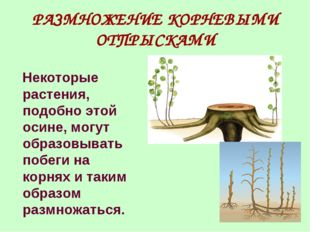 РАЗМНОЖЕНИЕ КОРНЕВЫМИ ОТПРЫСКАМИ Некоторые растения, подобно этой осине, могу