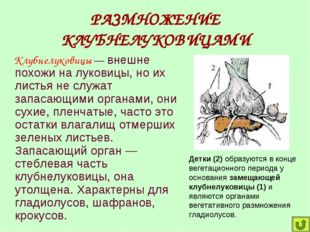 РАЗМНОЖЕНИЕ КЛУБНЕЛУКОВИЦАМИ Клубнелуковицы — внешне похожи на луковицы, но и