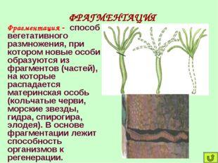 ФРАГМЕНТАЦИЯ Фрагментация - способ вегетативного размножения, при котором нов