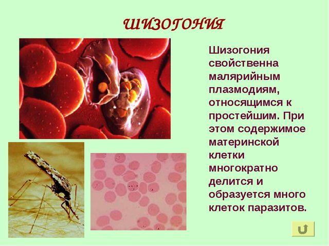ШИЗОГОНИЯ Шизогония свойственна малярийным плазмодиям, относящимся к простейш...