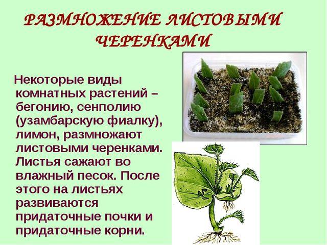 РАЗМНОЖЕНИЕ ЛИСТОВЫМИ ЧЕРЕНКАМИ Некоторые виды комнатных растений – бегонию,...