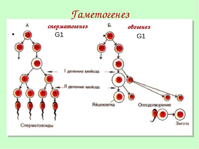 Гаметогенез сперматогенез G1 овогенез G1