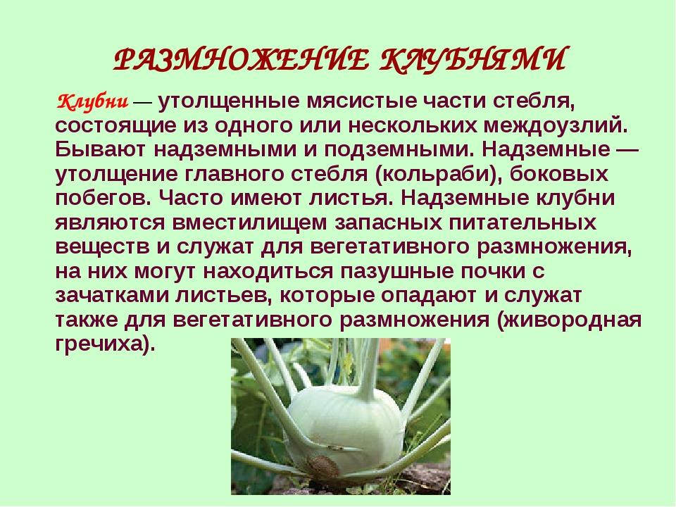 РАЗМНОЖЕНИЕ КЛУБНЯМИ Клубни — утолщенные мясистые части стебля, состоящие из...