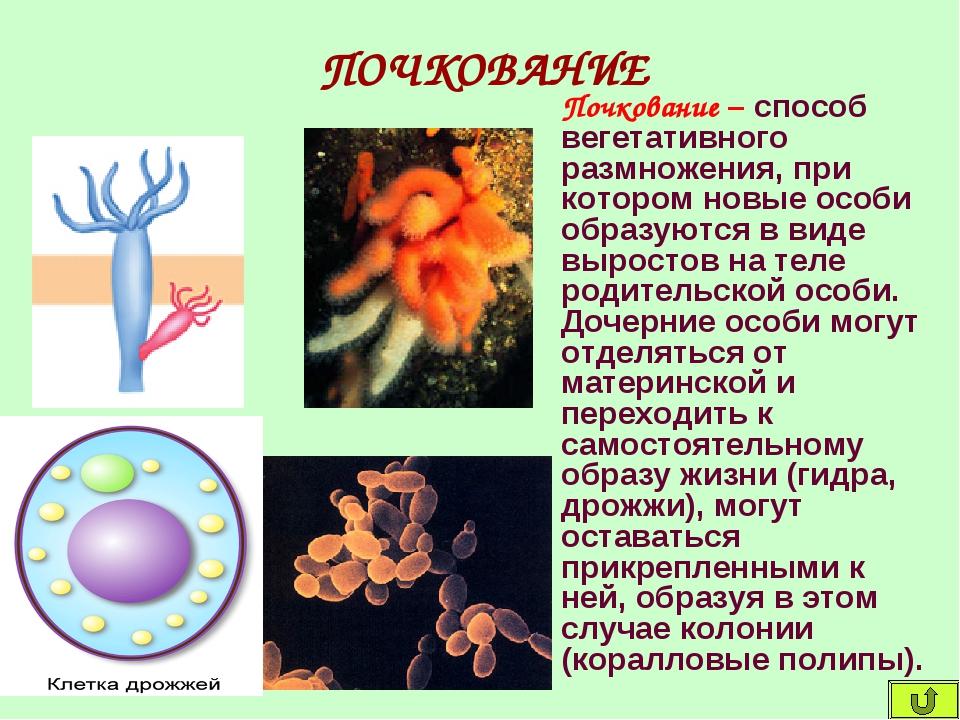 ПОЧКОВАНИЕ Почкование – способ вегетативного размножения, при котором новые о...