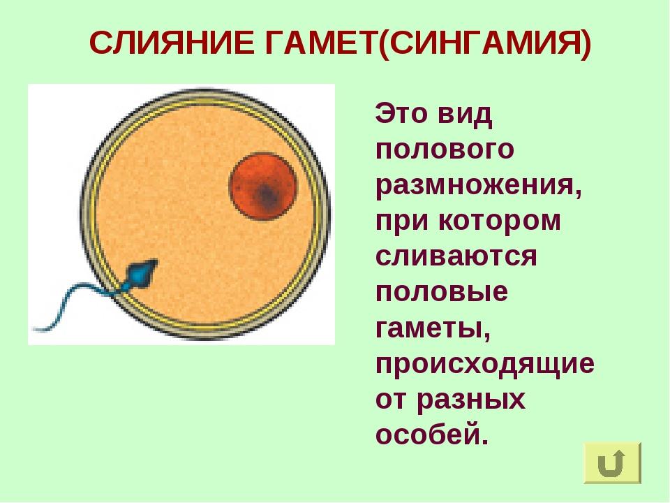 СЛИЯНИЕ ГАМЕТ(СИНГАМИЯ) Это вид полового размножения, при котором сливаются п...
