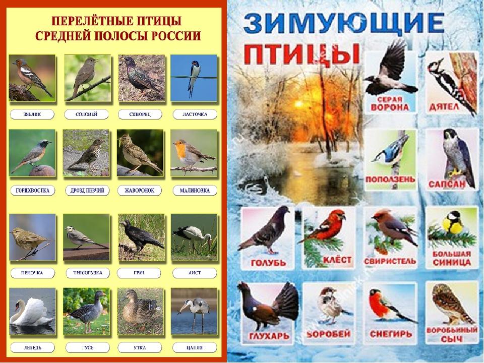 Перелетные и неперелетные птицы картинка