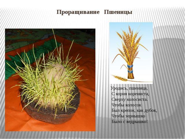 Проращивание Пшеницы Уродись, пшеница, С корня корениста, Сверху колосиста. Ч...