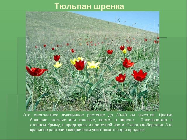 Тюльпан шренка Это многолетнее луковичное растение до 30-40 см высотой. Цветк...