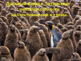 Дружный народ в Антарктиде – пингвины. Во всем коллективны они и едины.