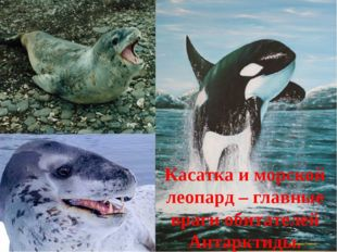 Касатка и морской леопард – главные враги обитателей Антарктиды.