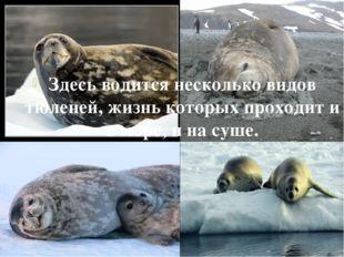 Здесь водится несколько видов тюленей, жизнь которых проходит и в море, и на