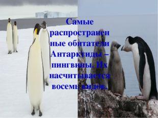 Самые распространенные обитатели Антарктиды – пингвины. Их насчитывается восе