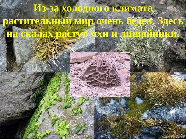 Из-за холодного климата растительный мир очень беден. Здесь на скалах растут...