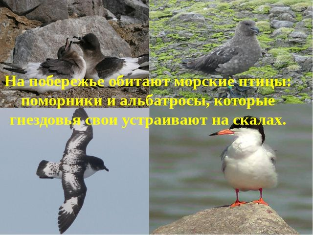На побережье обитают морские птицы: поморники и альбатросы, которые гнездовья...