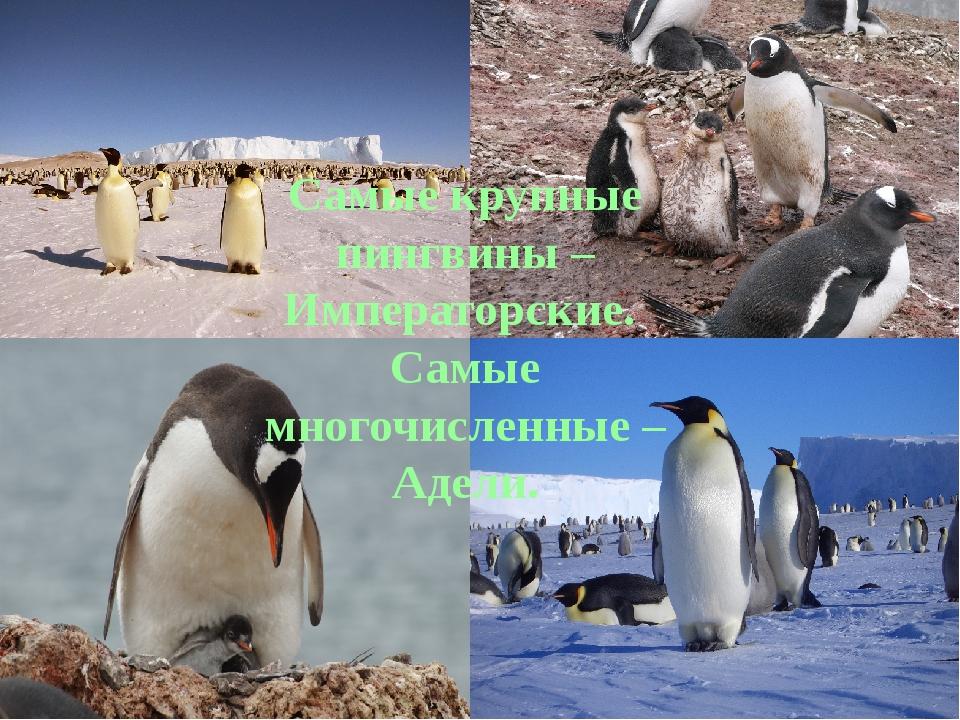 Самые крупные пингвины – Императорские. Самые многочисленные – Адели.