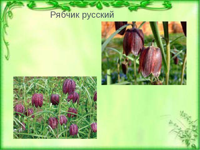 Тюльпан двуцветный Рябчик русский