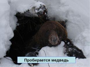 Пробирается медведь