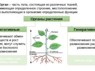 Органы растения Генеративные Вегетативные Орган – часть тела, состоящая из ра