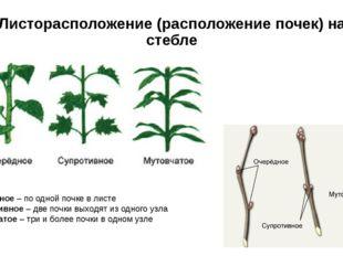 Листорасположение (расположение почек) на стебле Очередное – по одной почке в
