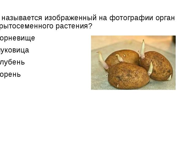 Как называется изображенный на фотографии орган покрытосеменного растения? 1)...