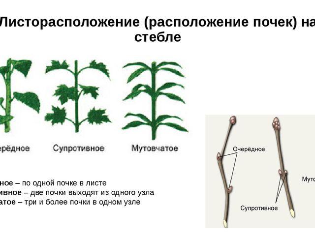 Листорасположение (расположение почек) на стебле Очередное – по одной почке в...