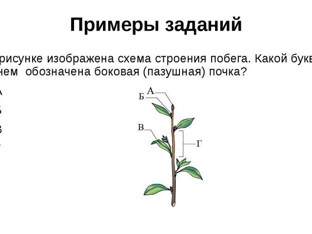 Примеры заданий На рисунке изображена схема строения побега. Какой буквой на...