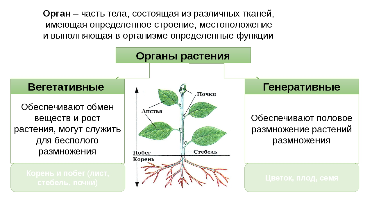 Органы растения Генеративные Вегетативные Орган – часть тела, состоящая из ра...