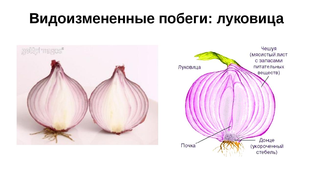 Видоизмененные побеги: луковица
