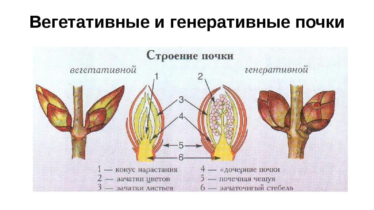 Вегетативные и генеративные почки